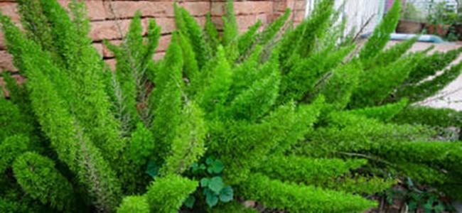 piante da appartamento tossiche Asparagus